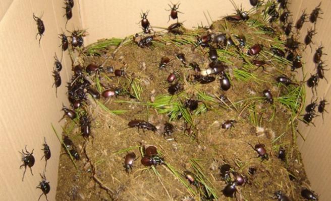 İstanbul'u gladyatör böcekler' koruyacak
