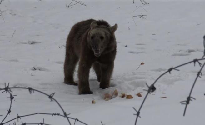 Sarıkamış'ta aç kalan ayı yavrusu ilçeye indi