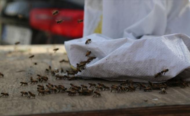 Şehir merkezinde firari arı paniği