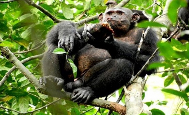 'İngiltere'de bazı zenginler düğünlerde şempanze eti yiyor' iddiası