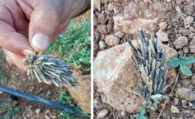 Bitki kökü zannettikleri şey mantolu böcek çıktı