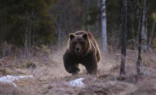 Erzurum'da ayı saldırdı: Ölü ve yaralılar var