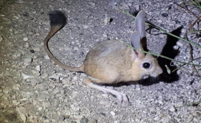 Tavşan gibi kulakları, fare gibi gövdesi olan Arap tavşanı Amasya'da görüntülendi