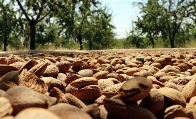 Elazığlı üretici devlet desteğiyle diktiği 37 bin ağaçtan badem hasadına başladı