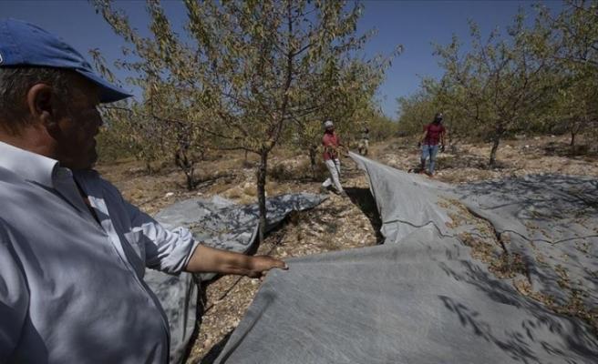 İzmir'in Çeşme ilçesinde badem hasadı başladı