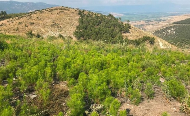 Sarayköy'de küle dönen ormanlık alanda 830 bin fidan büyüyor