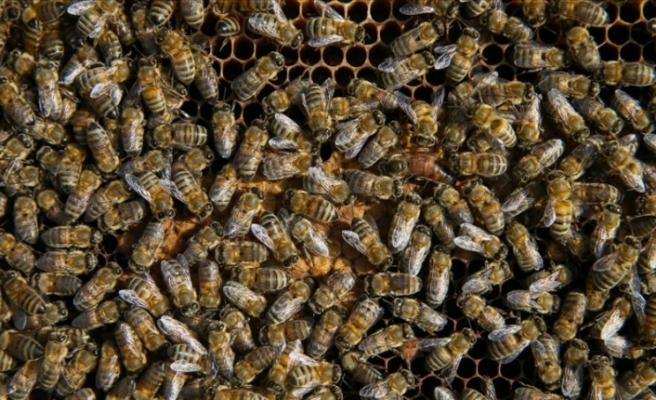 Türkiye'nin iki arı ırkı tescillendi