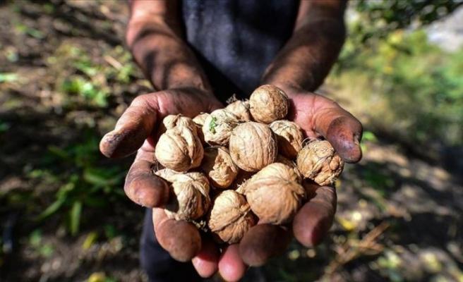 Tunceli'de köylülerin zorlu ceviz hasadı başladı