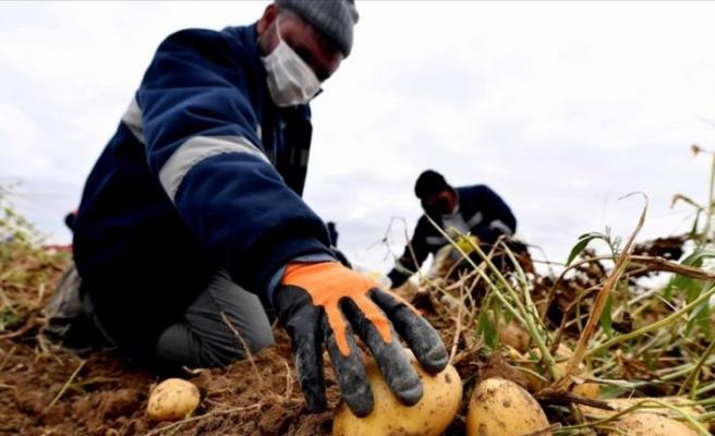 Başkentte ekonomiye kazandırılan atıl tarım arazisinde patates hasadı başladı