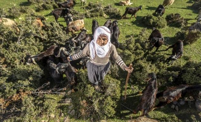 66 yaşında Amanos Dağaları eteklerinde çobanlık yapıyor