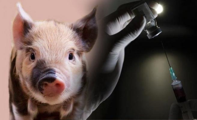 Korona aşılarında domuz ürünleri kullanılıyor