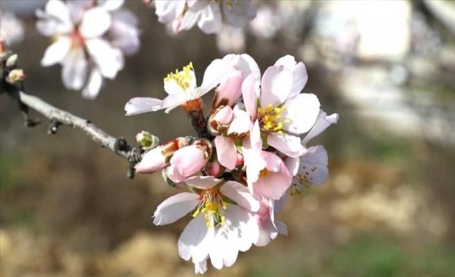 Edirne'de meyve ağaçları yalancı bahara aldandı
