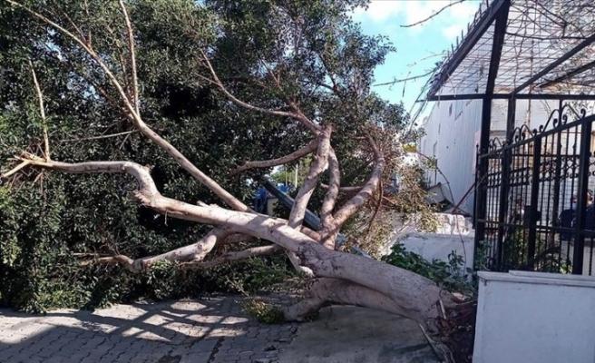 Muğla'da şiddetli rüzgar ağaçları devirdi
